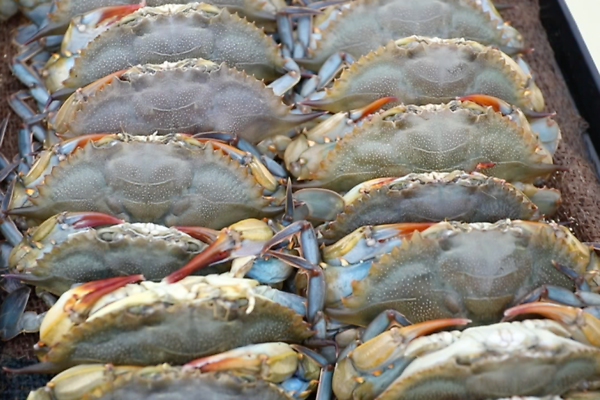 Female blue crabs